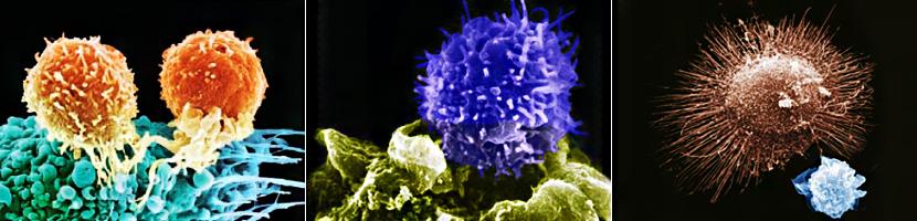 면역세포 활성화 기전